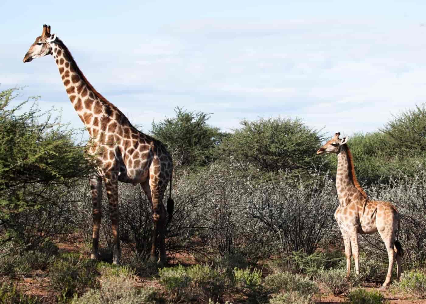 Cüce Zürafa