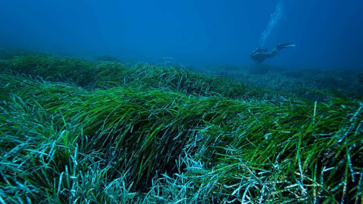 Deniz Otu Okyanustaki Plastikleri Temizliyor
