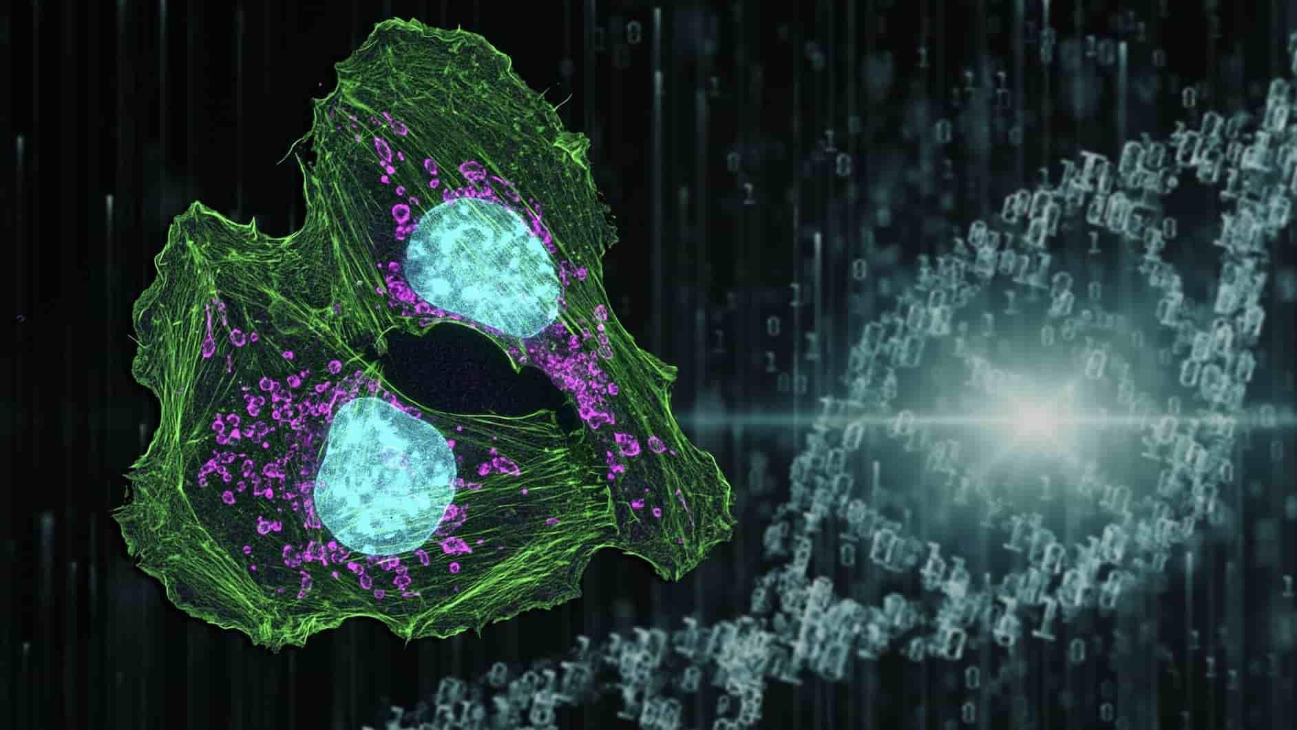 Karser Hücrelerinin Verimsiz Metabolizması