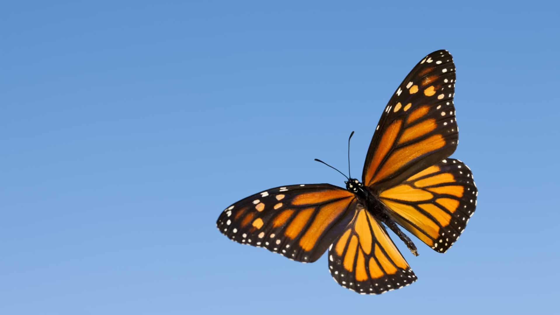 Araştırma Sonucu: Kelebekler Nasıl Uçar?