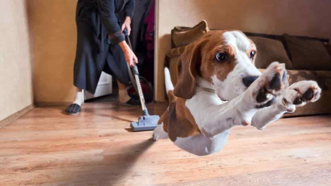 Köpekler Süpürge Sesinden Neden Bu Kadar Korkar?