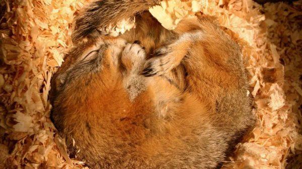 Hayvanlar Neden Kış Uykusuna Yatar