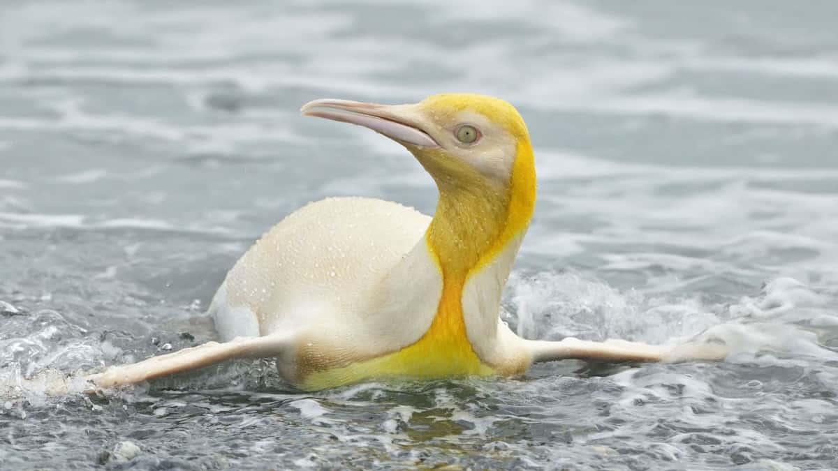 Vahşi Yaşam Son Derece Nadir Sarı Pengueni