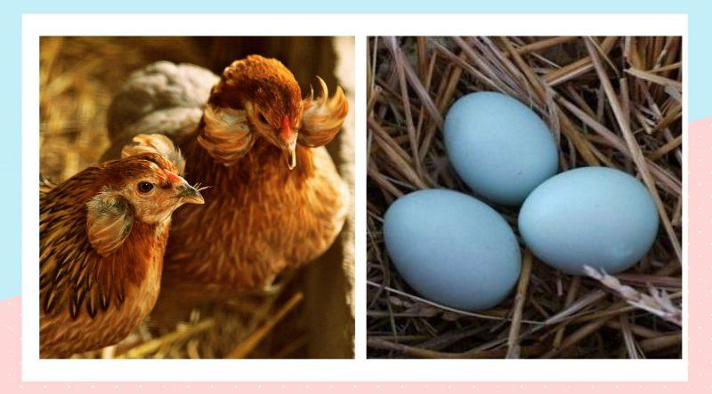 araucana tavuğunun mavi yumurtası