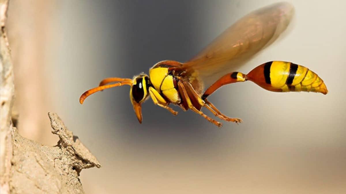 Eşek Arılarının İnsanlık İçin Önemi Nedir