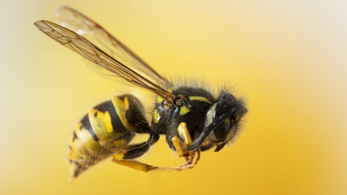 Eşek Arılarının Önemi Nedir