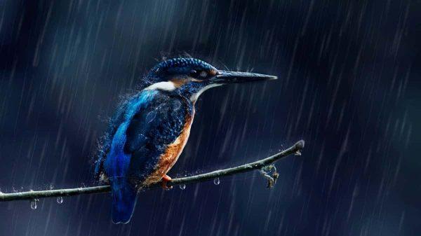 Kuşlar Gerçteken Islanmaz Mı