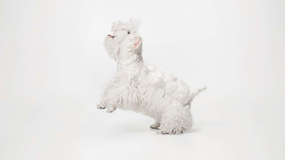 beyaz köpek cinsleri