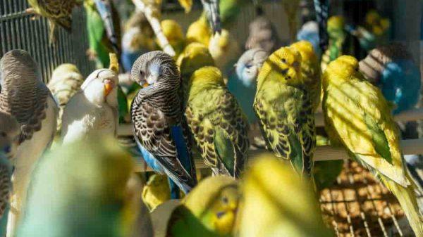 muhabbet kuşu cinsleri