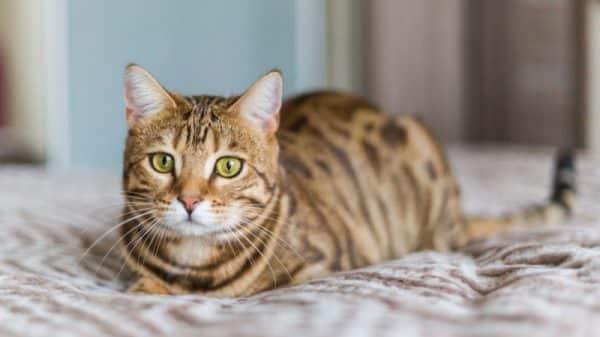 Kedilerin Kuyruk Nareketleri Ne Anlama Gelir
