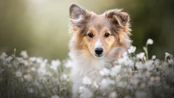 Shetland Çoban Köpeği Hakkında 7 Şey